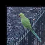 green parrotboi